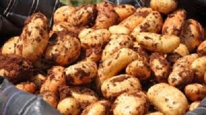 images-occu-cy-potatoes-north-cyprus-news-potatoes